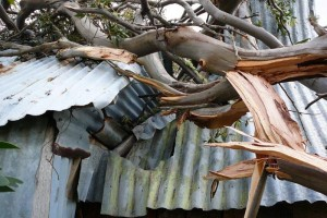 A tree falls on the hut - © Jane Wheaton, December 2010